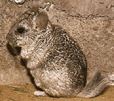chinchilla-brevicaudata-origine