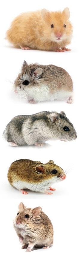 especes-hamster