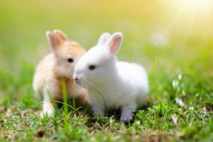lapin-animaux-domestiques