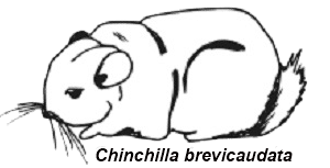 chinchilla-brevicaudata