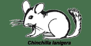 chinchilla-lanigera