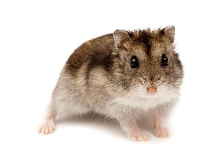 hamster-quiz