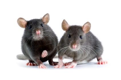 rats-carousel-quie