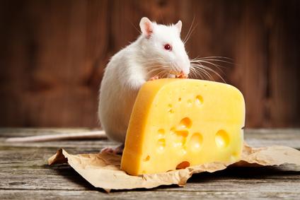 alimentation-du-rat-en-tete