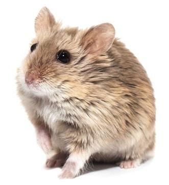 hamster-de-campbell