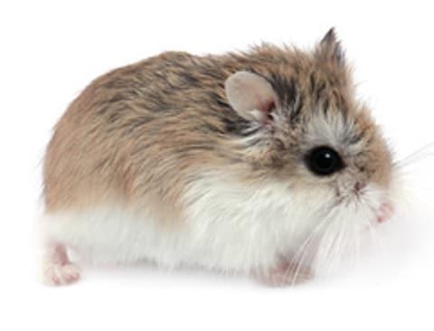 hamster-de-roborovski
