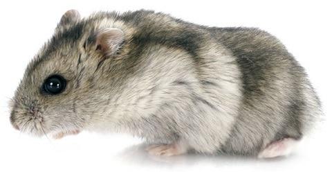 hamster-russe