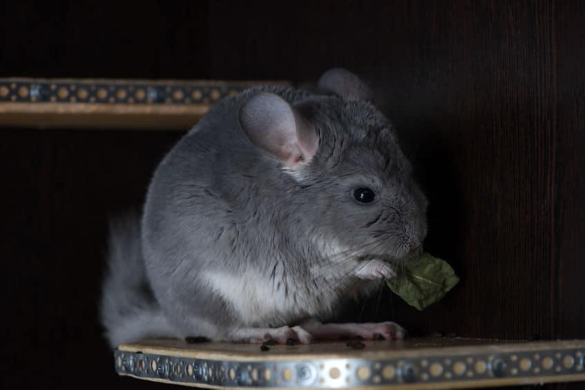 alimentation-du-chinchilla-herbes-séchées