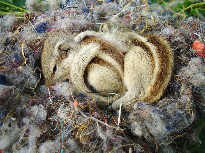 reproduction-de-l-ecureuil-de-coree-en-tete