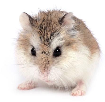 anatomie-du-hamster-roboroski
