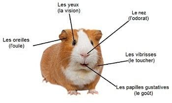 fonctions-sensorielles-anatomie-du-cochon-d-inde