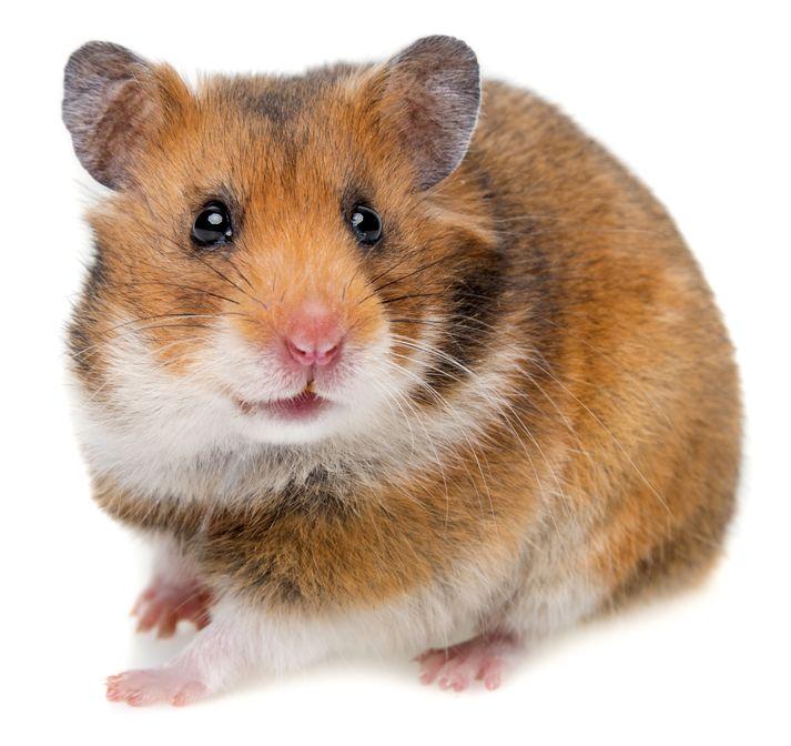les-5-sens-anatomie-du-hamster