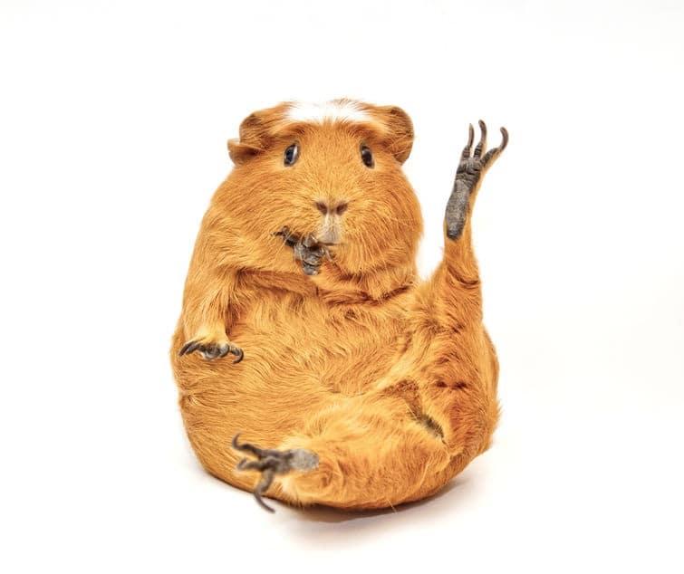 pattes-posterieures-et-anterieures-anatomie-du-cochon-d-inde