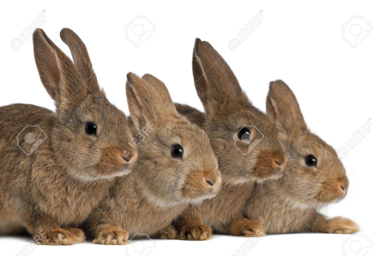 brun-marron-de-lorraine-standards-des-lapins-de-races