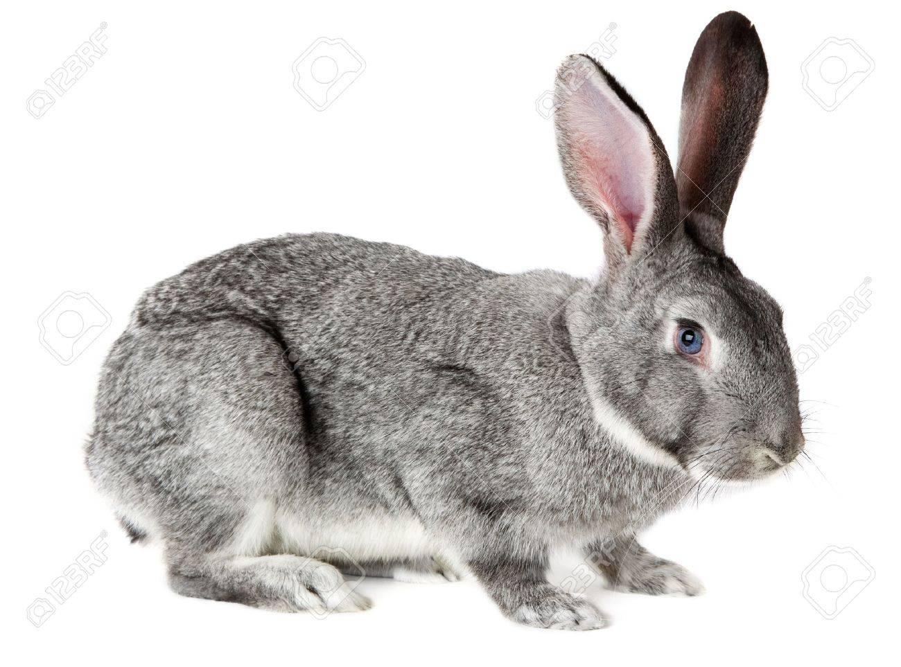 chinchilla-standards-des-lapins-de-races