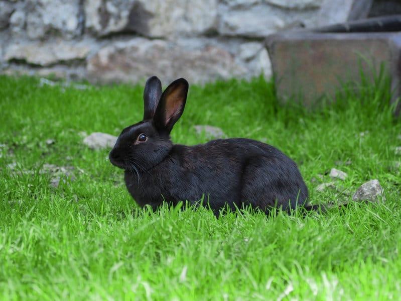 alaska-standards-des-lapins-de-races