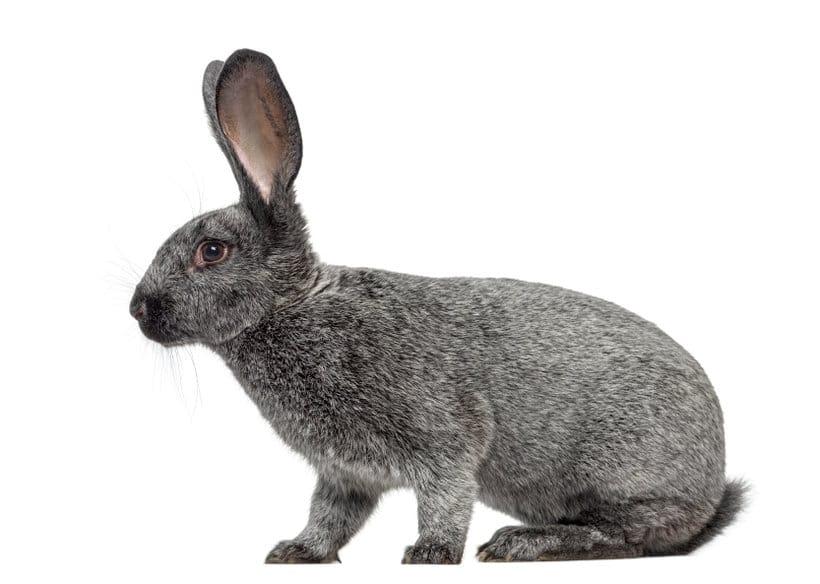 argente-de-saint-hubert-standards-des-lapins-de-races