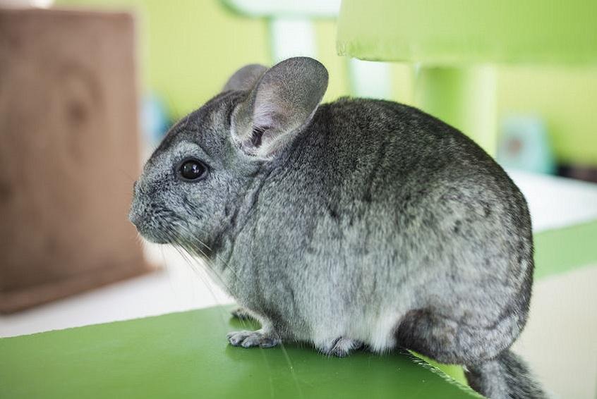 chinchilla-nouveaux-animaux-de-compagnie