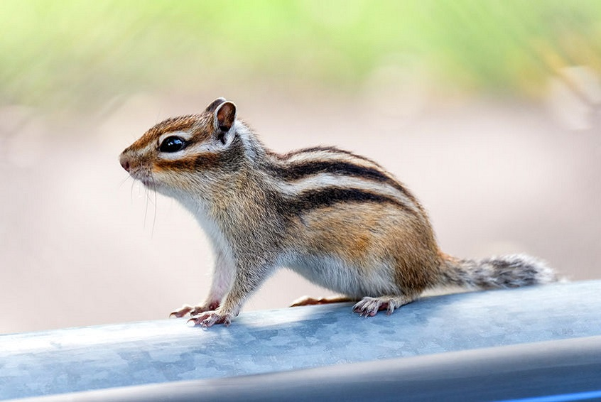 ecureuil-de-coree-nouveaux-animaux-de-compagnie