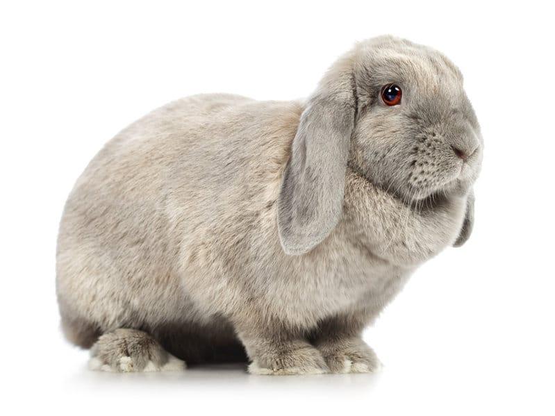geant-belier-francais-standards-des-lapins-de-races