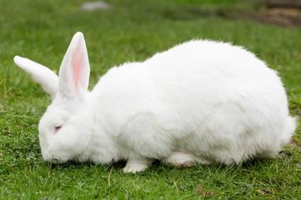 geant-blanc-du-bouscat-standards-des-lapins-de-races