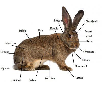 definition-standard-des-lapins-de-race