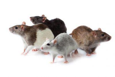 famille-des-murides-origine-du-rat