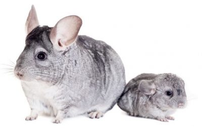 reproduction-chinchilla